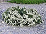 5 Sea Kale Crambe Maritima Seakale Perennial Edible Vegetable White Flower Seeds #SFB