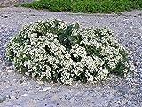5 Sea Kale Crambe Maritima Seakale Perennial Edible Vegetable White Flower Seeds #SFB