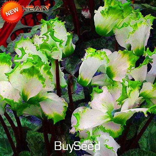 Amazon Big Salegreen Edge White Cyclamen Flower Seeds