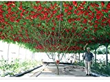 2018 Hot Sale!! 1 Original Pack, 5 Seeds/Pack, Perennial Tomato Giant Trees, Outdoor Greenhouse Available, Heirloom Tomato Seeds