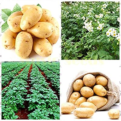 New Fresh Bonsai 50 Pcs Potato Bonsai Nutrition Green Vegetable for Home& Garden Planting Potato Bonsai Absorbing Radiation