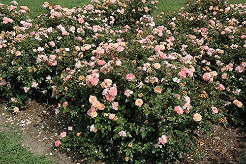Apricot Drift Groundcover Rose - Quart Pot