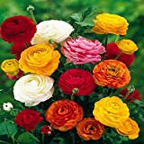 Ranunculus Asiaticus, Mixed Colors (20 Bulbs)