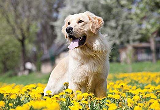 Papel Tapiz 3d Golden Retriever Dog Wallpaper Mural Animal Y