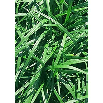 Plants by Mail 2.5 Qt Super Blue Liriope Lilyturf, Green : Garden & Outdoor
