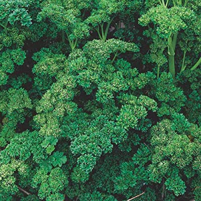 Toyensnow - Herb Seed: Triple Curled Parsley Fresh (250+ Seeds) : Garden & Outdoor
