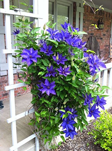 Rare ,Most Beautiful & Unusual Clematis *Clematis Mr. President *5 Fresh Seeds *
