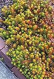 Sedum rupestre,Sedum reflexum,Jenny's stonecrop 500 Seeds,evergreen perennial !