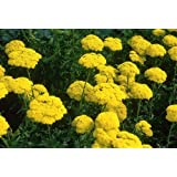 """Premier Seeds Direct ACL03F 0.5g Goldgarbe """"Cloth of Gold"""" Samen (Packung mit 4500)"""