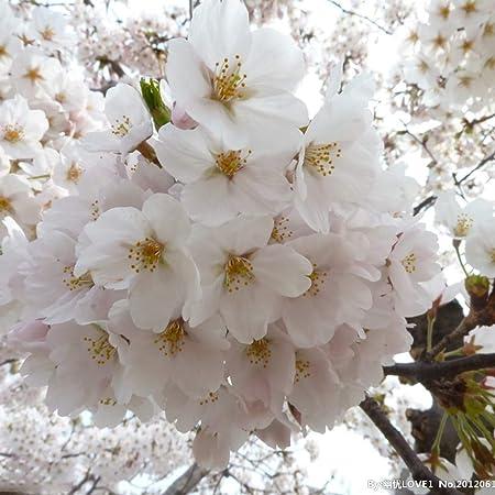 Amazon Com 40pcs Japanese White Cherry Blossom Sakura Tree 20