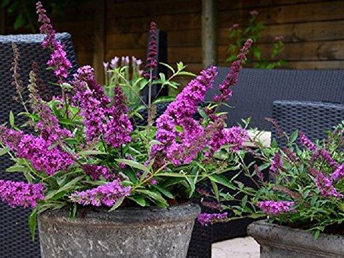 (Flutterby Petite Tutti Fruitti Pink Butterfly Bush - Live Plant - 3 Gallon Pot)