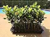 Nellie R. Stevens Holly - 10 Live Trees - Evergreen Privacy Plants