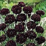 Cornflower Chernyy Shar - 150 Seeds - Organically Grown - NON-GMO