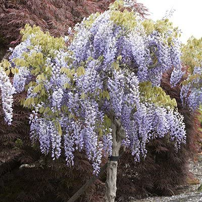 Amazon Com Chinese Wisteria Vine Blue Hard To Find 50