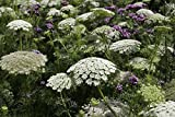 Flower Seeds - Annual Queen Anne's Lace - Ammi majus - Annual - Liliana's Garden