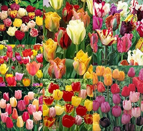 10 Spring Eternal Mix Tulip Bulbs~All Different~Early/Late/Single/Double/Parrot