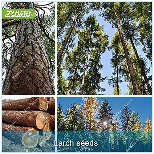 (Seed 50 Larch Pine Tree Bonsai Plants for Home Garden Bonsai Tree Plant in Pot Fast Growing Tree)