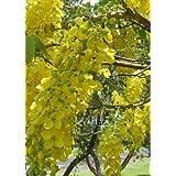TROPICA - Golden Shower Tree / Golden Cassia (Cassia fistula) - 20 Seeds - Tropical Magic