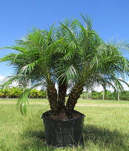 Roebelenii Pygmy Date Palm, 14''