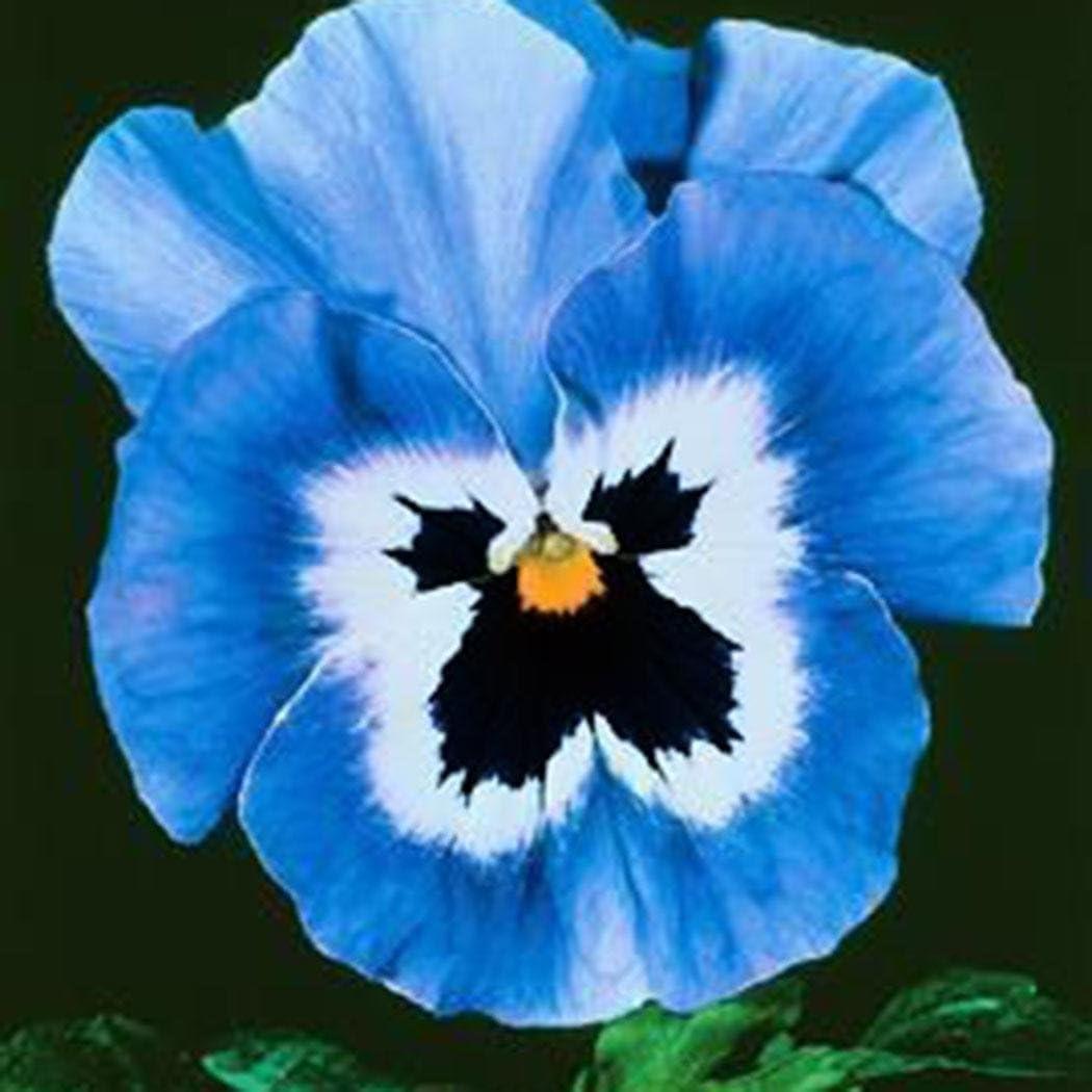 Lonlier Semillas de Pensamiento de Colores 100 pcs Flores para ...