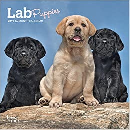 Lab Puppies 2019 7 X 7 Inch Monthly Mini Wall Calendar Animals Dog