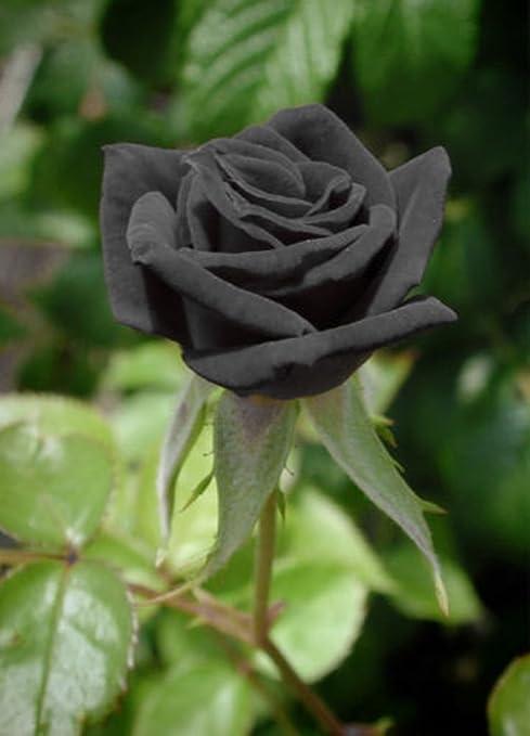 Pianta Di Rose Rosa Nera Black In Zolla X Vaso Radicata Cm 35