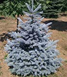 'Fat Albert' Dwarf Spruce 3 - Year Live Plant
