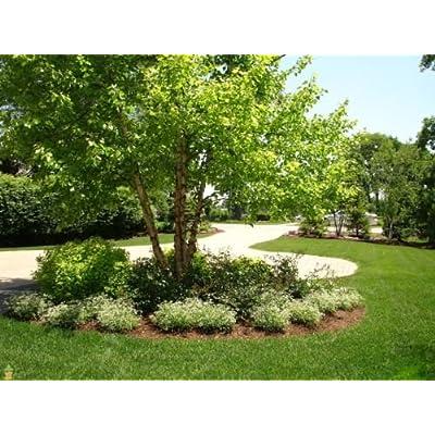 River Birch Multi-stem Clump Tree (betulanigra) in Quart Pot : Garden & Outdoor