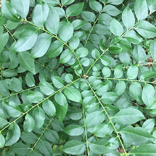 Fresh Whole Curry Leaves - Fresh Loose Whole Curry Leaf - Organic Curry Leaf Tea; Non-GMO Culinary Spice, Indian Cuisine; Price Includes Free 1-3 Day USPS Shipping! (1 - Shipping Days Usps