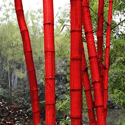 Qenci Seeds- Colorful Giant Moso Bamboo Seeds Potted Plant Bonsai of Garden Plants Bamboo Seeds 100Pcs