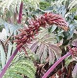 Plant World Seeds - melianthus Major Seeds