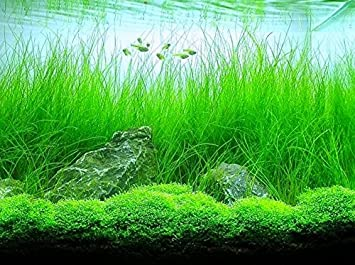 Amazon.com: Potted Tall Hairgrass By West Coast Aquatics   Easy Aquatic  Live Plant: Pet Supplies