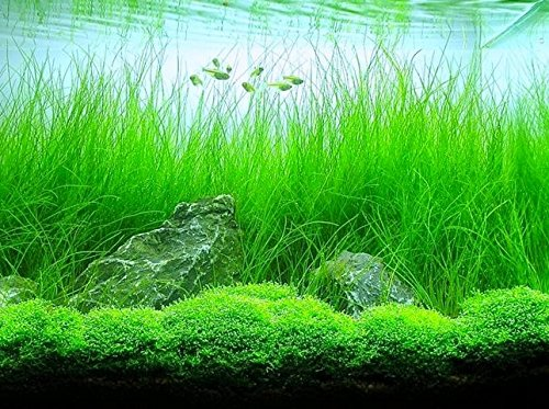 Potted Tall Hairgrass by AquaLeaf Aquatics - Easy Aquatic Live ()