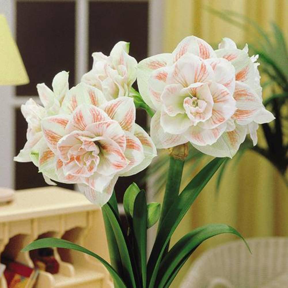 Amaryllis Nymphe - 1 bulbe de fleur Jardinpourvous