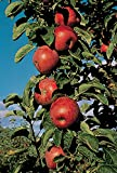 Northpole Columnar Apple Bare Root Tree