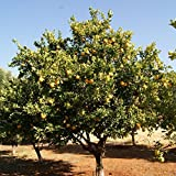 African Marula Tree Seeds (Sclerocarya birrea) 2+ Very Rare Tree Seeds + FREE Bonus 6 Variety Seed Pack - a $29.95 Value! FROZEN SEED CAPSULES for Growing Seeds Now or Saving Seeds For Years
