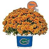 Sporticulture Florida Gators Color Team Mum, 3 Quart, Orange