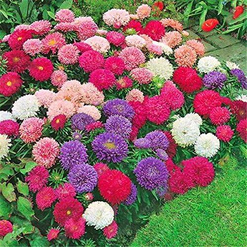 100Seeds / bolsa Gazania rigens Semillas Las semillas de flor de Bonsai Jardín Crisantemo Semillas Semillas de flores violeta libre del envío: Amazon.es: Jardín