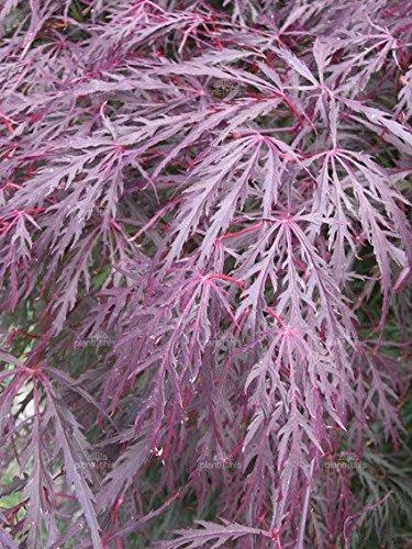 Lace Leaf Japanese Maple Acer Palmatum Dissectum Tree 10 Seeds