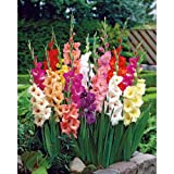 50 Giant Mixed Gladiolus Bulbs 12/14 cm - Super Value!