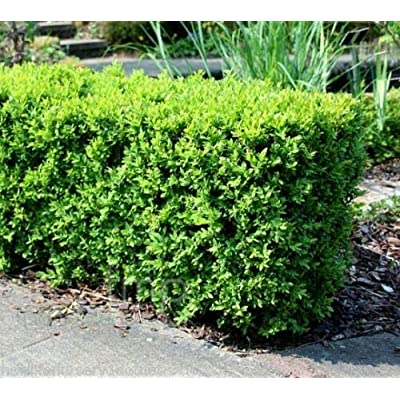 Live Plant - Full Gallon Pot - Japanese Boxwood (Buxus) Live Shrub Plant for Garden #RR07 : Garden & Outdoor