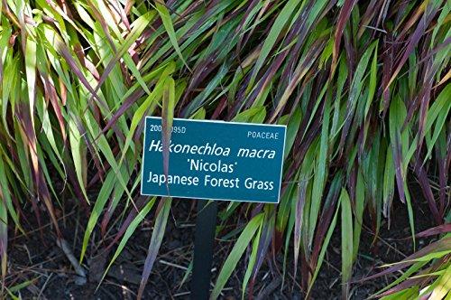 - HAKONECHLOA MACRA 'NICOLAS' - JAPANESE FOREST GRASS - STARTER PLANT - DORMANT