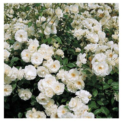 Stargazer Perennials Iceberg Floribunda Shrub Rose Bush - Organic Grown White Rose Container Grown - Non-GMO Easy to Grow ()