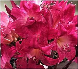 Rose Hot Pink Amaryllis Belladonna - One Large Bulb - Rare Color - Outside Only