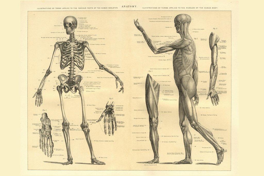 Amazon.de: Poster Gießerei Menschlichen Anatomie Skelett und Muskeln ...
