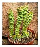 Crassula rupestris - kebab bush - concertina bush - 10 seeds