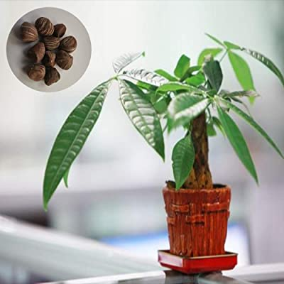 2 Rich Tree Seed Exotic New Balcony High Germination Rate Anywhere Germination Rate 96% Deluxe Variety Matures Quickly: Garden & Outdoor