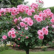 New Big Pink Double-petalled Rose Tree, 50+ seeds