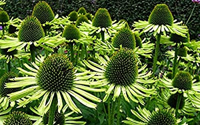 Echinacea Purpurea Seeds - GREEN JEWEL - RARE VARIETY - Fragrant - 15 Seeds