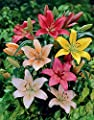 Van Zyverden Dutch Asiatic Mixture Lilies Bulbs (Set of 7), Multicolor